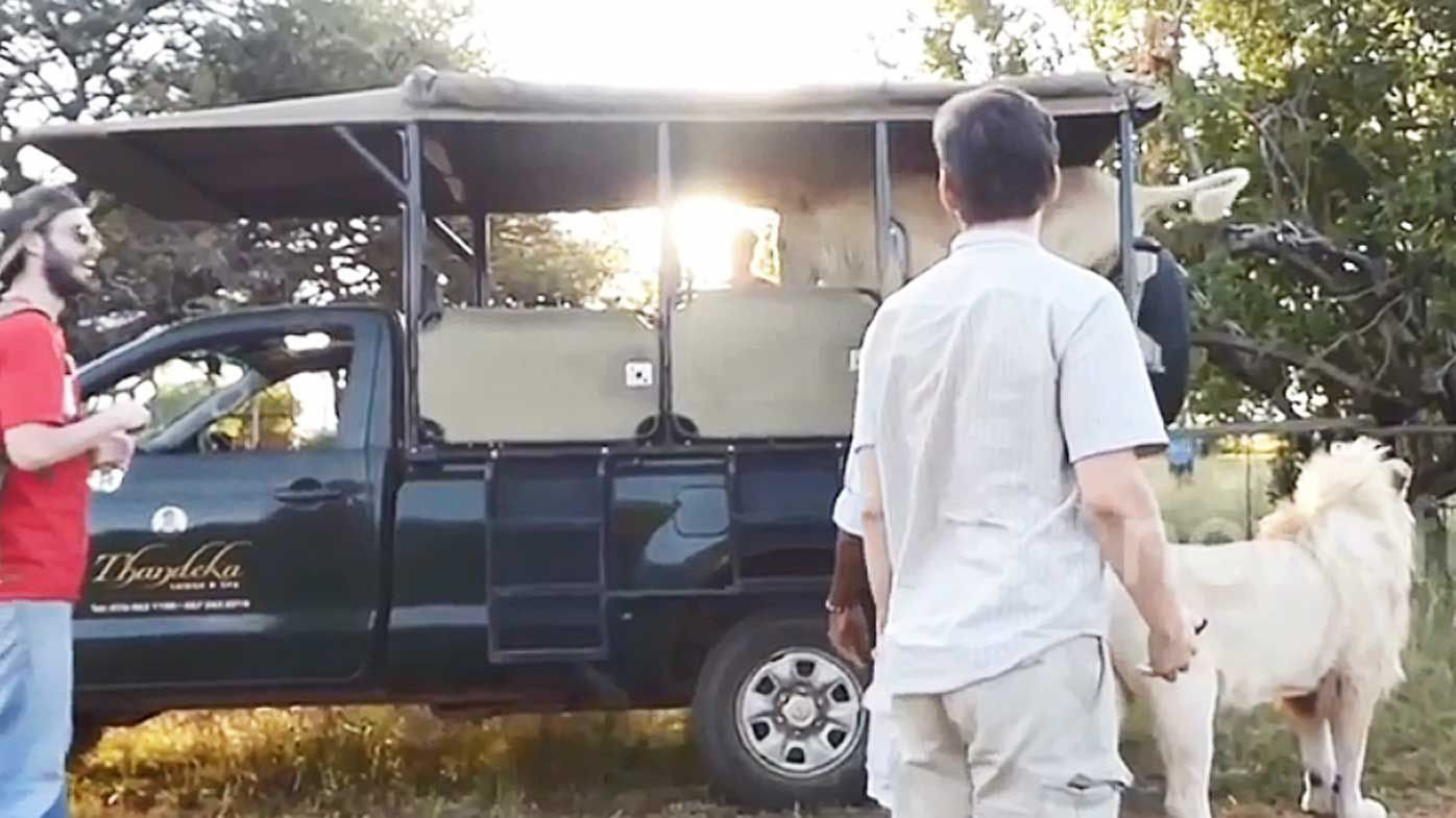 Lion jumps into safari vehicle in South Africa, Kruger National Park