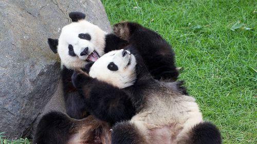 Adelaide pandas got 'so close' to mating