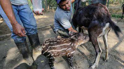 <p>Nicaraguan zookeepers feed a baby tapir from a goat, after it was rejected by its own mother. </p><p>Many South and Central American countries are undertaking conservation efforts to protect the tapir. </p>