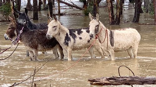Four donkeys at a farm in Burradoo, south of Bowral were saved from floodwaters.