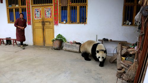 After allowing her several hours to explore, researchers returned Zhenzhen to the Wolong Shenshuping Panda Base by mid-afternoon. Picture: AP