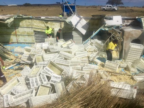 Hundreds of crates filled with the chicks were ejected from the vehicle. (Picture: Toby Vue/ Yass Tribute)