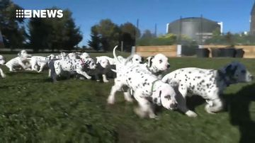 Litter of 18 Dalmatian puppies smashes Australian record