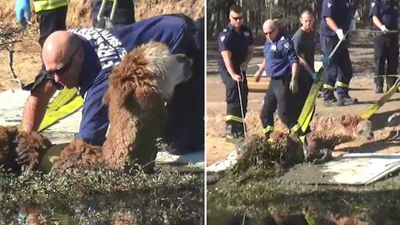 'Distressed' alpaca rescued from Sydney dam