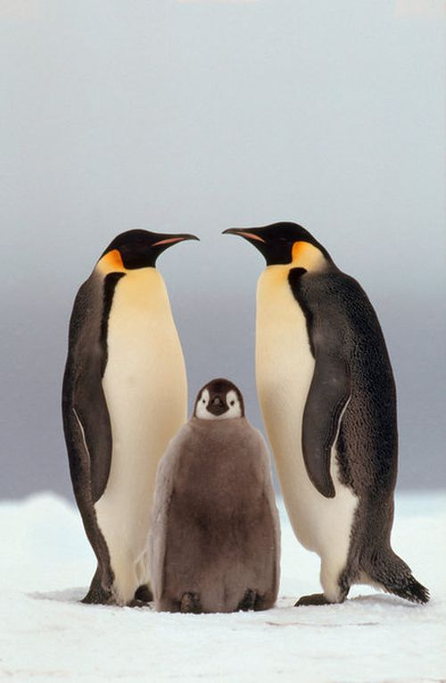 Emperor Penguins, pair with young, Cape Norwegia, Antarctica.