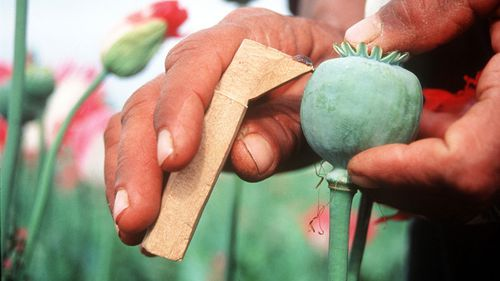 Poppy seeds are shown being cracked in Afghanistan.
