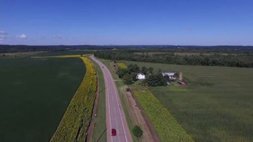 Mourning husband plants stunning field of sunflowers to honour late wife