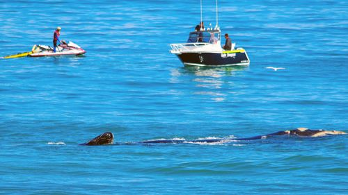 A Southern right whale and calf at Watermans Bay in the Marmion Marine Park, WA, where the reported attack happened.