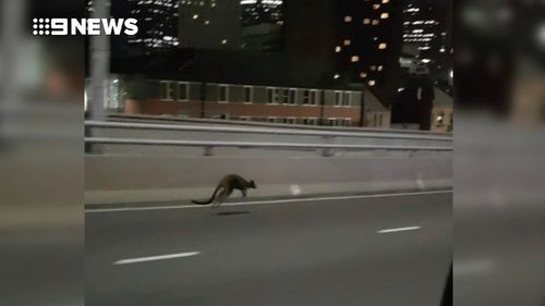 Police eventually caught up to the wallaby after a lengthy chase. (9NEWS)