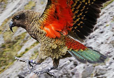 Daily Quiz: The kea is endemic to the alpine regions of which island?