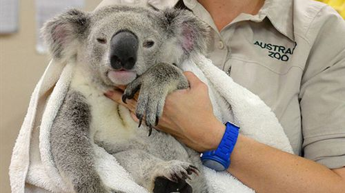 Brave koala clings onto car for 88km after being hit
