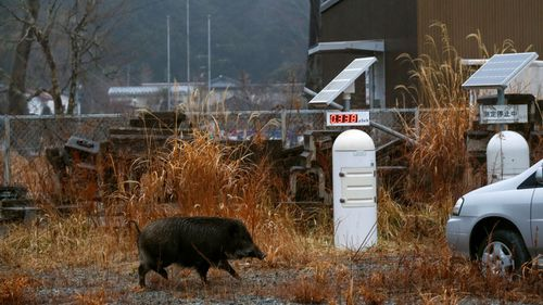 After seven years wild animals including boars roam the area. (AP).