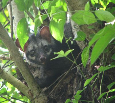<strong>#5 Asian palm civet</strong>