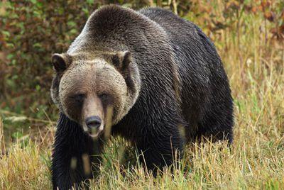 Colossal bear