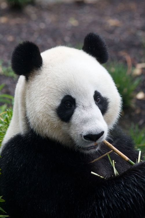 Wang Wang showed his dominance but didn't manage to successfully mate with Funi. (AAP)