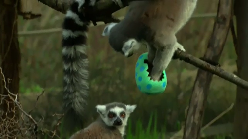 Even at London Zoo, Easter treats were handed out to the animals. (9NEWS)