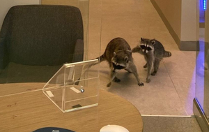 How a pair of raccoons broke into a bank for cookies