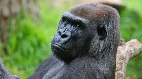 Julia, 33, died this morning of injuries inflicted by a male gorilla. (Source: Melbourne Zoo)