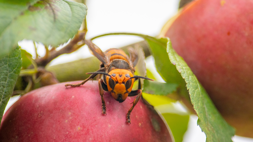 In this October 7, 2020, photo provided by the Washington State Department of Agriculture, a live Asian giant hornet with a tracking device affixed to it sits on an apple in a tree where it was placed, near Blaine, Wash.