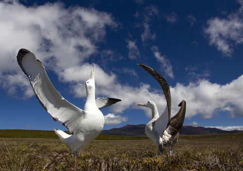 Albatross are faithful to their mates for life, and greet each other with elaborate dances after returning from long flights over the ocean.