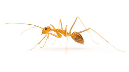 A yellow crazy ant. (DPI)