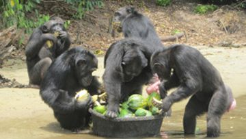 The chimps were used as research subjects in the 1970's and are entirely reliant on humans for their survival, as there is no year-round supply of fresh water, or enough food, in their islets. (Liberiana.com)