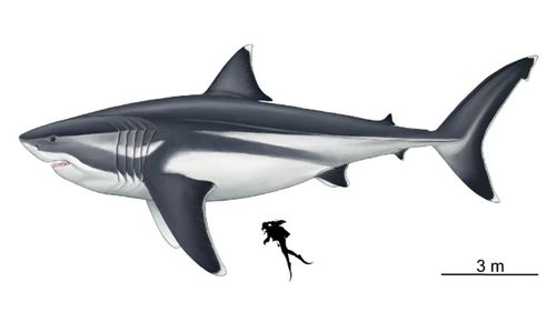 Eating a human would barely take the edge of the appetite of a megalodon shark.