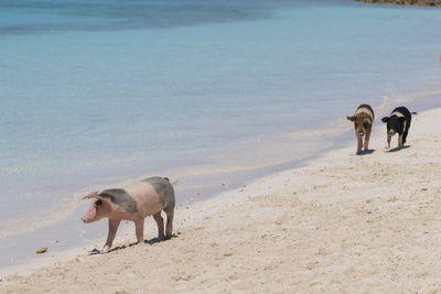 <strong>12.&nbsp;Pig Beach, Bahamas&nbsp;</strong>
