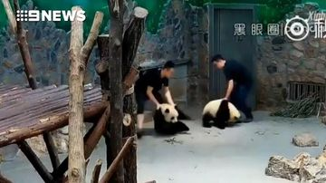 Panda keeper caught flinging cubs denies claims of abuse