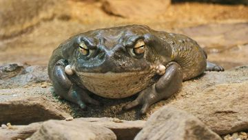 The Colorado River Toad contains a venom that can have psychedelic qualities, but is actually very toxic.