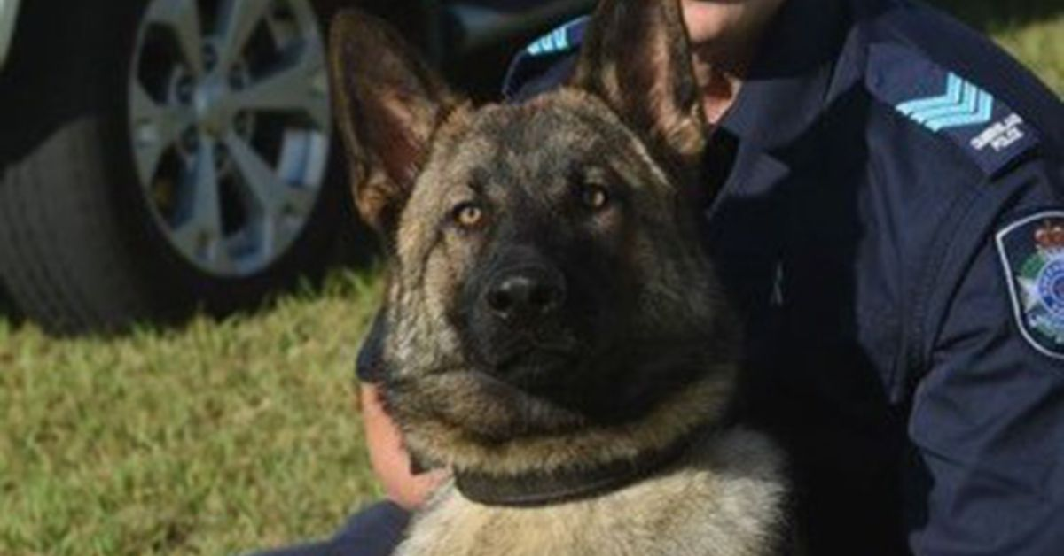 Police dog Rambo killed while tracking suspect on Queensland highway – 9News