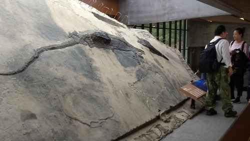 This image shows the ichthyosaur specimen with its stomach contents visible as a block that extrudes from the body.