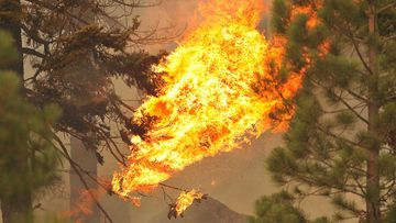 Dry pine needles ignite as flames reach the tree canopy of a forest in California.