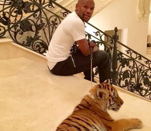 Floyd Mayweather adds tiger to luxurious possessions