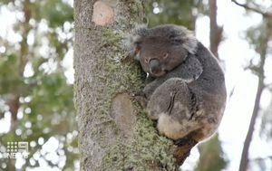 Vulnerable koala colony thrown $84m lifeline