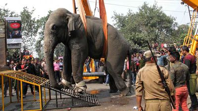 The sedated elephant was eventually restrained with a harness, loaded into a truck and taken to a sanctuary. (AP)