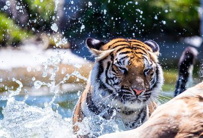 A tiger cools its heels in Germany's sweltering heat.