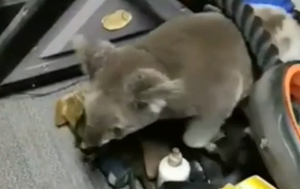 Koala joey seeks refuge in Gold Coast family's home gym before being reunited with mum