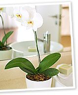 orchids for indoors