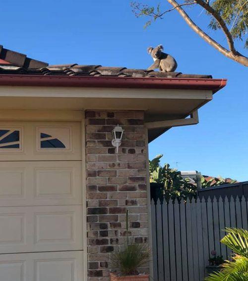 Housing developments are increasingly destroying what is left of koala habitats.