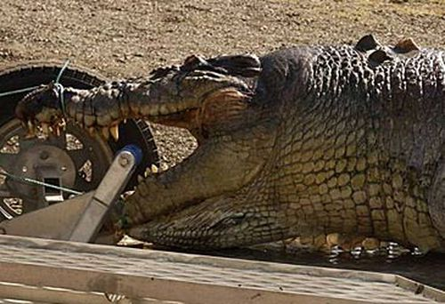 Fitzroy River crocodile (Queensland Police)