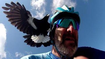 Warnings as magpie swooping season takes flight