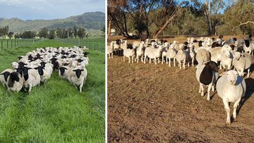 Photos at Cherilyn Lowe's Dorper sheep breeding farm in Moonbi, northern NSW show the difference a month can make.