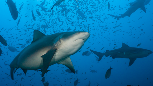 Bull sharks are one of the most common species to be involved in shark attacks in Australia