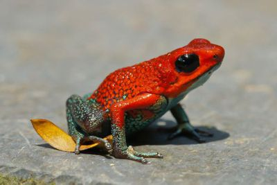 <p>Poison dart frog</p>