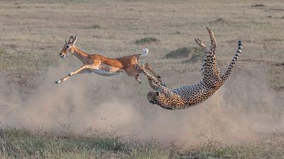 'Cheetah Hunting in Maasai Mara' - Maasai Mara National Reserve, Kenya: Terrestrial Wildlife category 2020 winner.