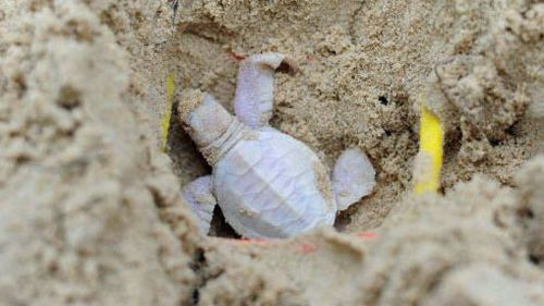 Baby albino turtle spotted on Queensland beach
