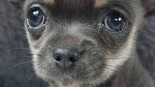 Crows blamed for disappearance of Melbourne chihuahua