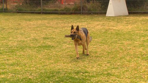 Police Dog Ink enjoys his last few days on the force. (9NEWS)