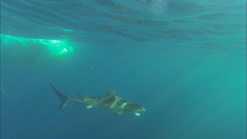 Mr Auditore spotted six tiger sharks feeding on the dead whale. (Supplied/Chett Auditore)